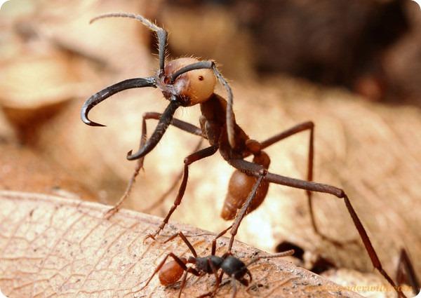 Кочевой муравей Eciton burchellii