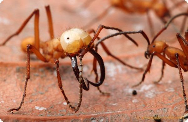 Оранжевый кочевой муравей Эцитон хаматум