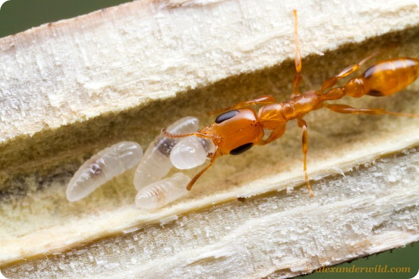 Древесный муравей Pseudomyrmex sp.