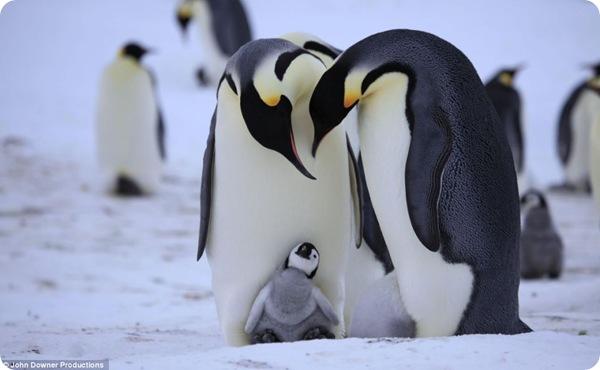 Королевские пингвины - почти как люди!