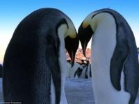 Королевские пингвины — почти как люди!