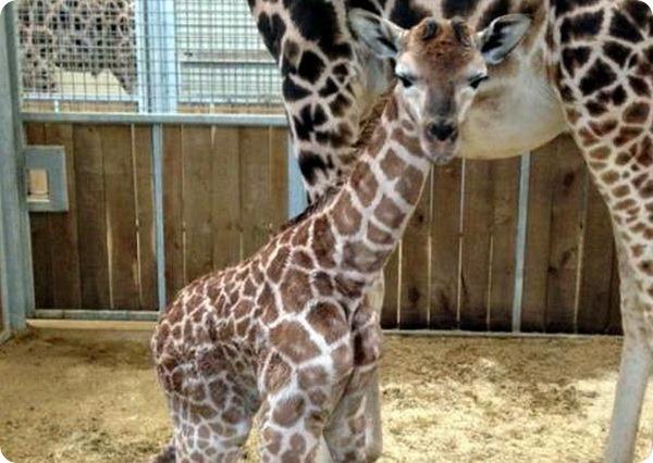 Детеныш жирафа из зоопарка Бюргерса