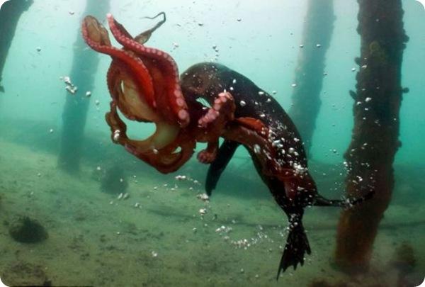 Морской котик и осьминог