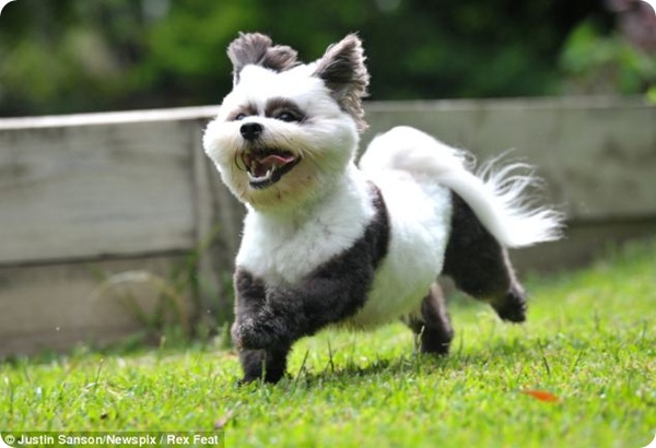 Необычная стрижка для пса Пуки