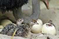 Страусята из зоопарка Базеля