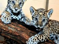 Ягуары из Милуоки — подросли !