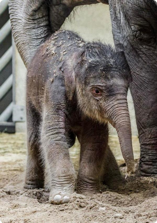 В зоопарке Праги родился первый слоненок