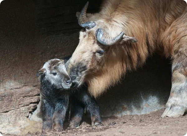 В зоопарке Сан-Диего родился детёныш такина