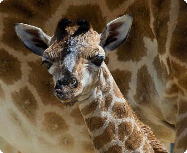 Детеныш жирафа Ротшильда из зоопарка Мого