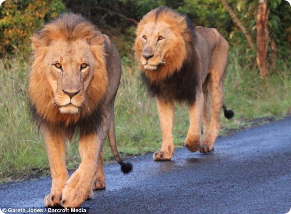 Ох уж эти львы!
