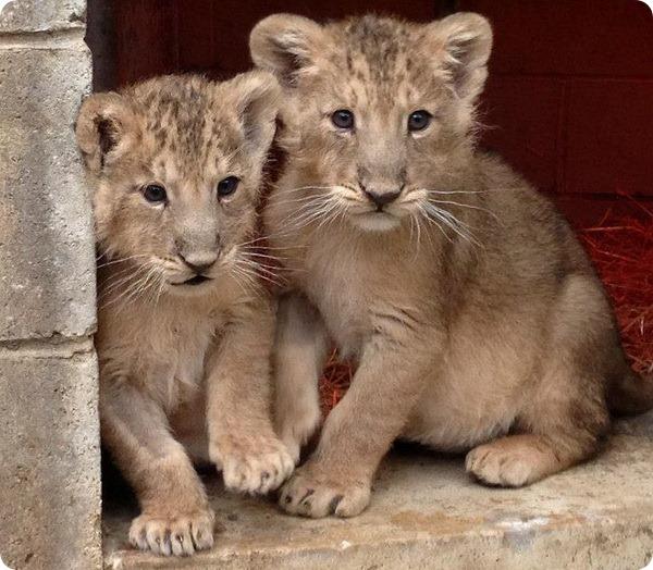 Парочка львят из зоопарка Бристоля