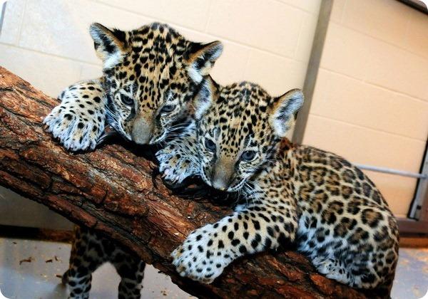 Детеныши ягуара из зоопарка Милуоки