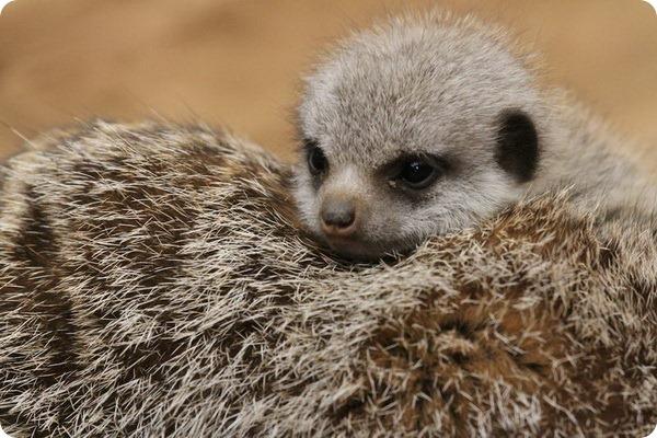 Малыш суриката и зоопарка Честера