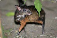 Мышиный олененок из зоопарка Берлина