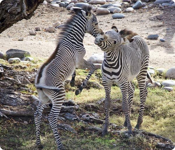 Жеребенок зебры из зоопарка Финикса
