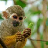 Обыкновенная беличья обезьяна