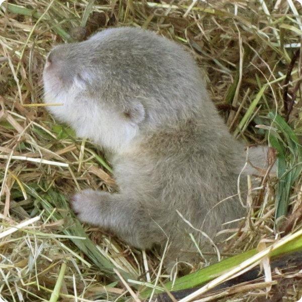 В зоопарке Даррелла родились детеныши выдры
