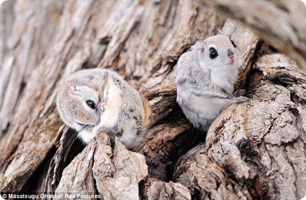 Симпатичные белки-летяги с острова Хоккайдо