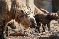 Парочка такинов из зоопарка Линкольна