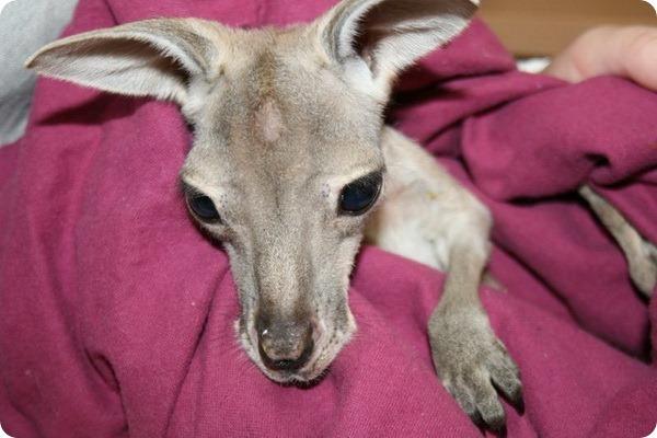 Осиротевший кенгуренок обрел новый дом