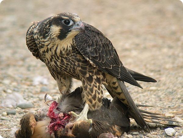 Сапсан (лат. Falco peregrinus)
