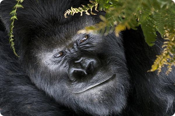 Гориллы (лат. Gorilla)