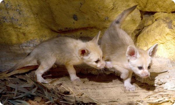 Лисята-фенеки из зоопарка Таронга