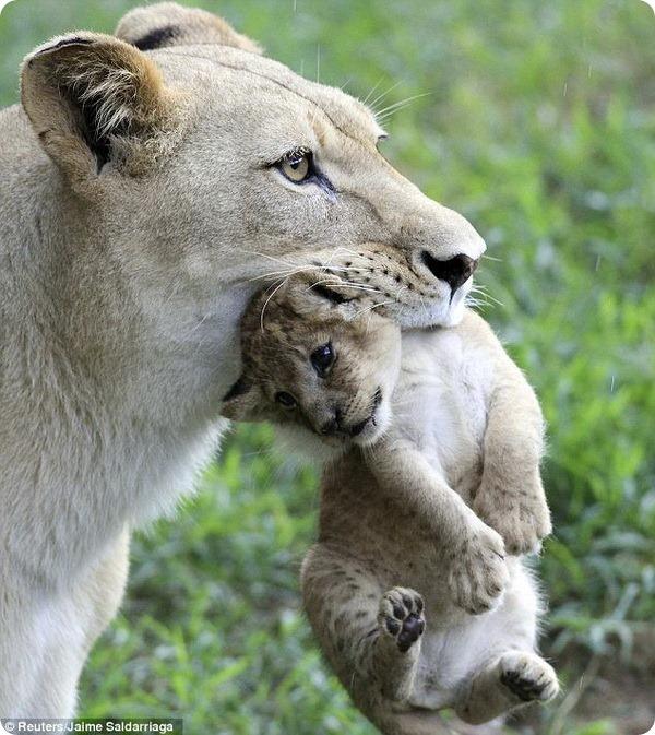 Дебют львят в зоопарке Колумбии