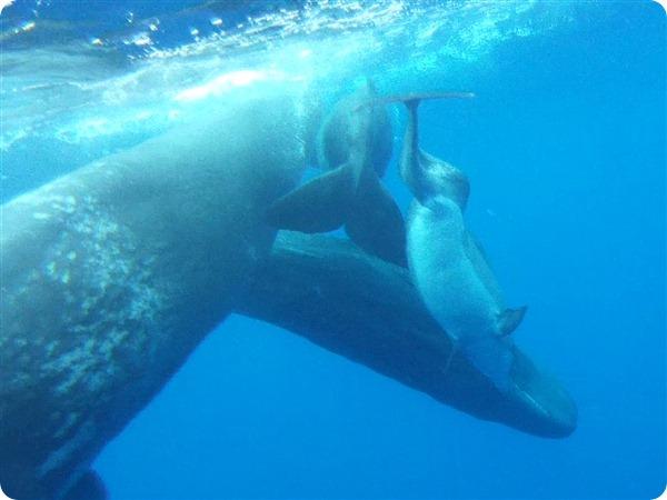 Кашалоты приняли в семью дельфина