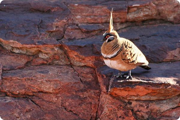 Острохохлый каменный голубь (лат. Geophaps plumifera)
