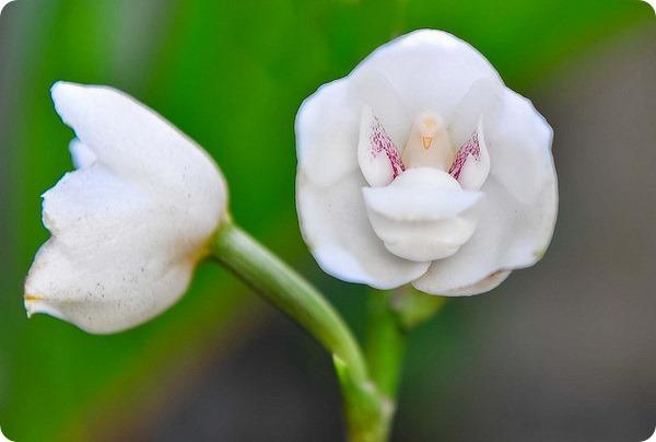 Перистерия высокая  (лат. Peristeria elata)