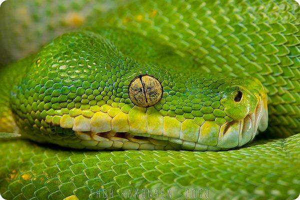 Зеленый или древесный питон (лат. Morelia viridis)
