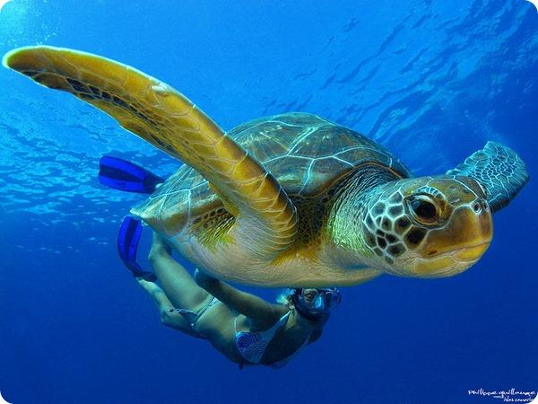 Зеленая черепаха (лат. Chelonia mydas)