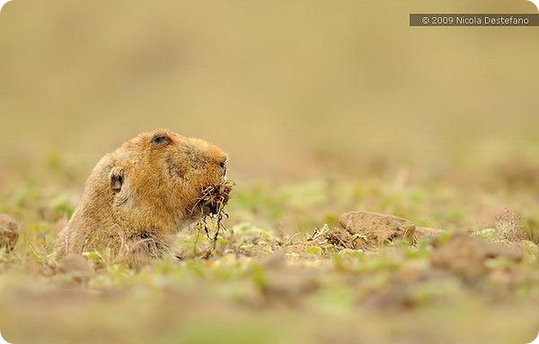 Эфиопская кротовая крыса (лат.Tachyoryctes macrocephalus)