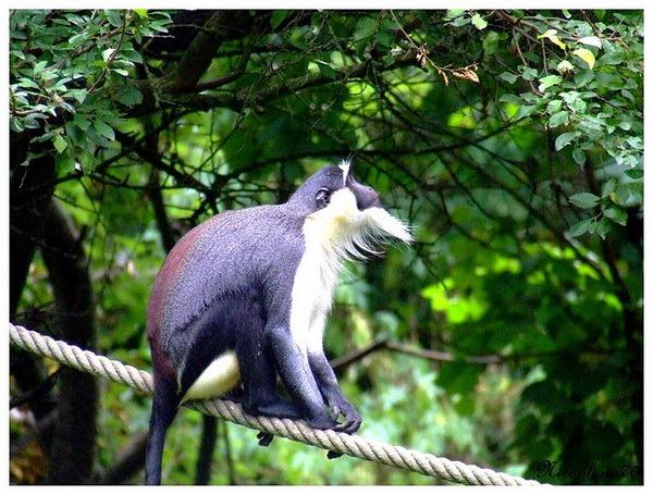 Роловейская мартышка (лат. Cercopithecus roloway)