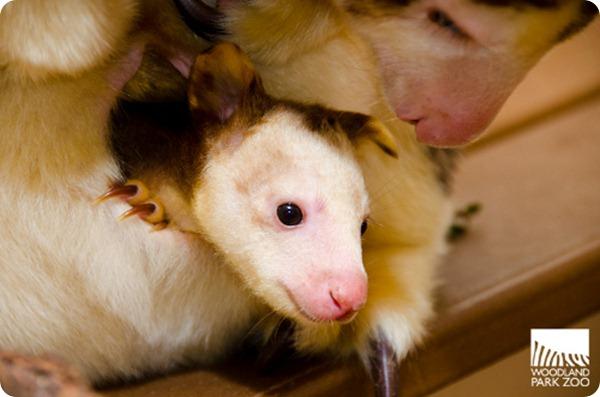 Детеныш древесного кенгуру из Woodland Park Zoo