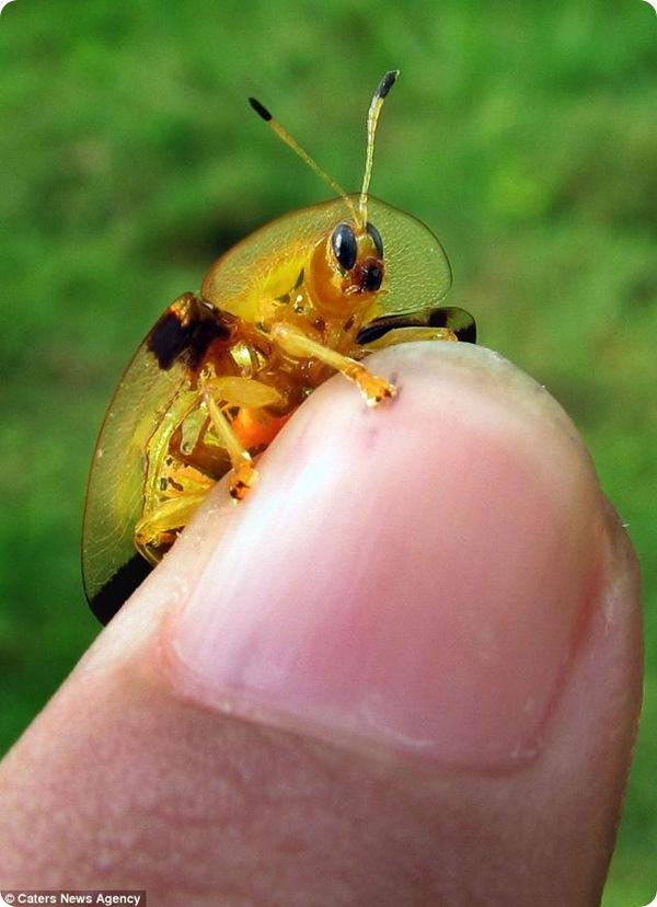 Необычный золотой жук из Индии