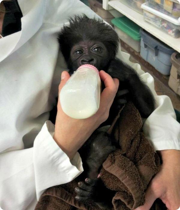Зоопарк Цинциннати принял маленькую гориллу