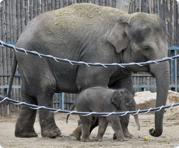 Долгожданный слоненок из зоопарка Будапешта