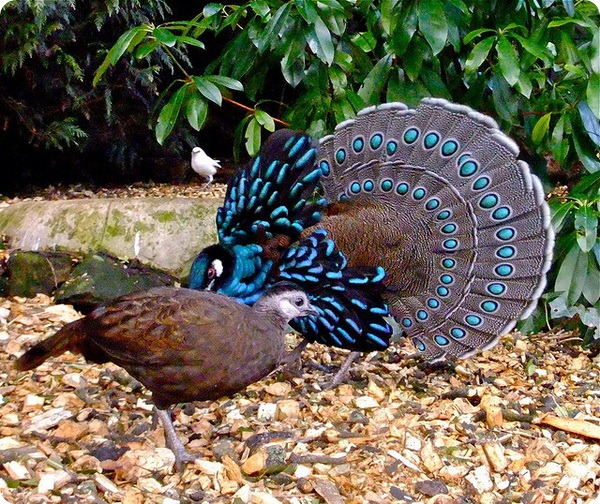 Палаванский павлиновый фазан (лат. Polyplectron napoleonis)