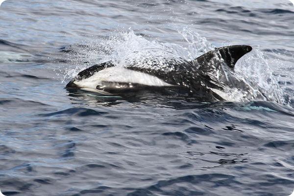Крестовидный дельфин (лат. Lagenorhynchus cruciger)