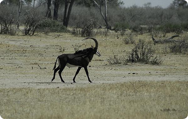Черная антилопа (лат. Hippotragus niger)