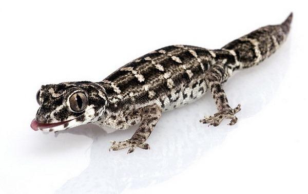 Гадюковый геккон (лат. Teratolepis fasciata)
