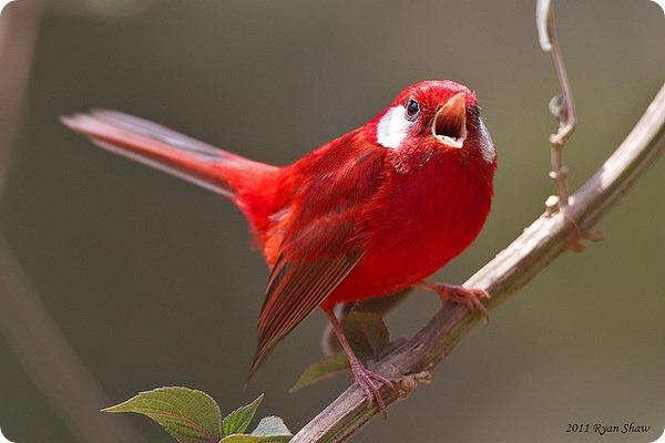 Пурпурный танагровый певун (лат. Ergaticus ruber)