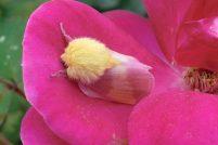 Павлиноглазка Dryocampa rubicunda