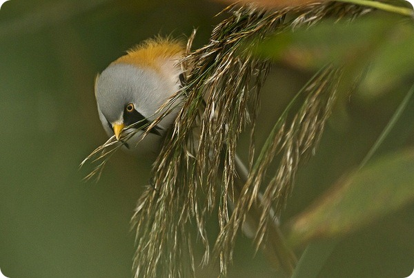 Усатая синица (лат. Panurus biarmicus)