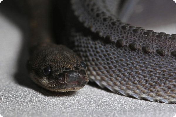 Яванский ксенодерм (лат. Xenodermus javanicus)