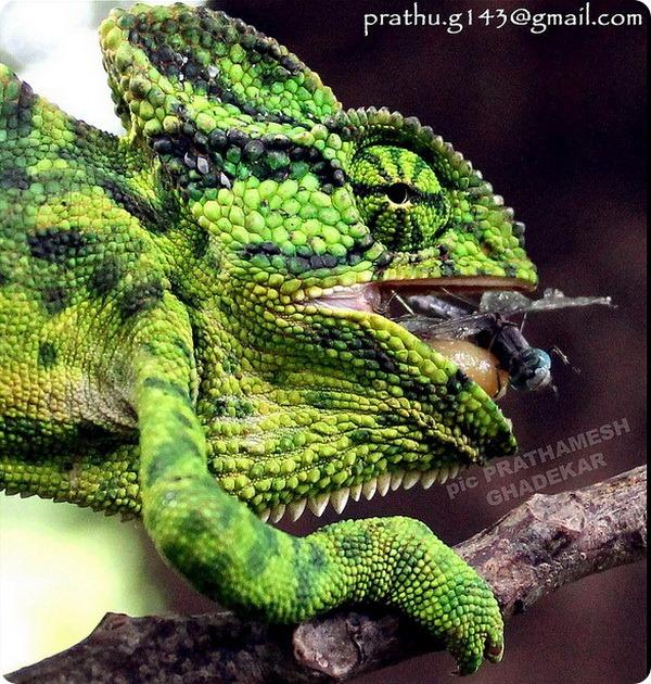 Индийский хамелеон (лат. Chamaeleo zeylanicus)