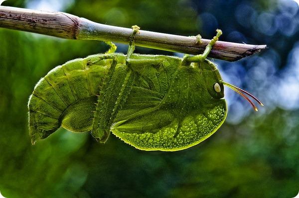 Тропическая кобылка Teratodus monticollis