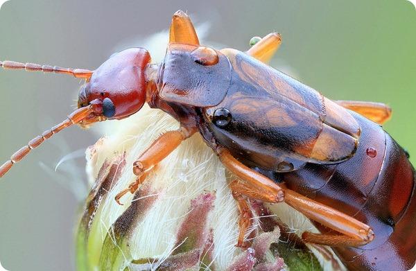 Уховертка обыкновенная (лат. Forficula auricularia)